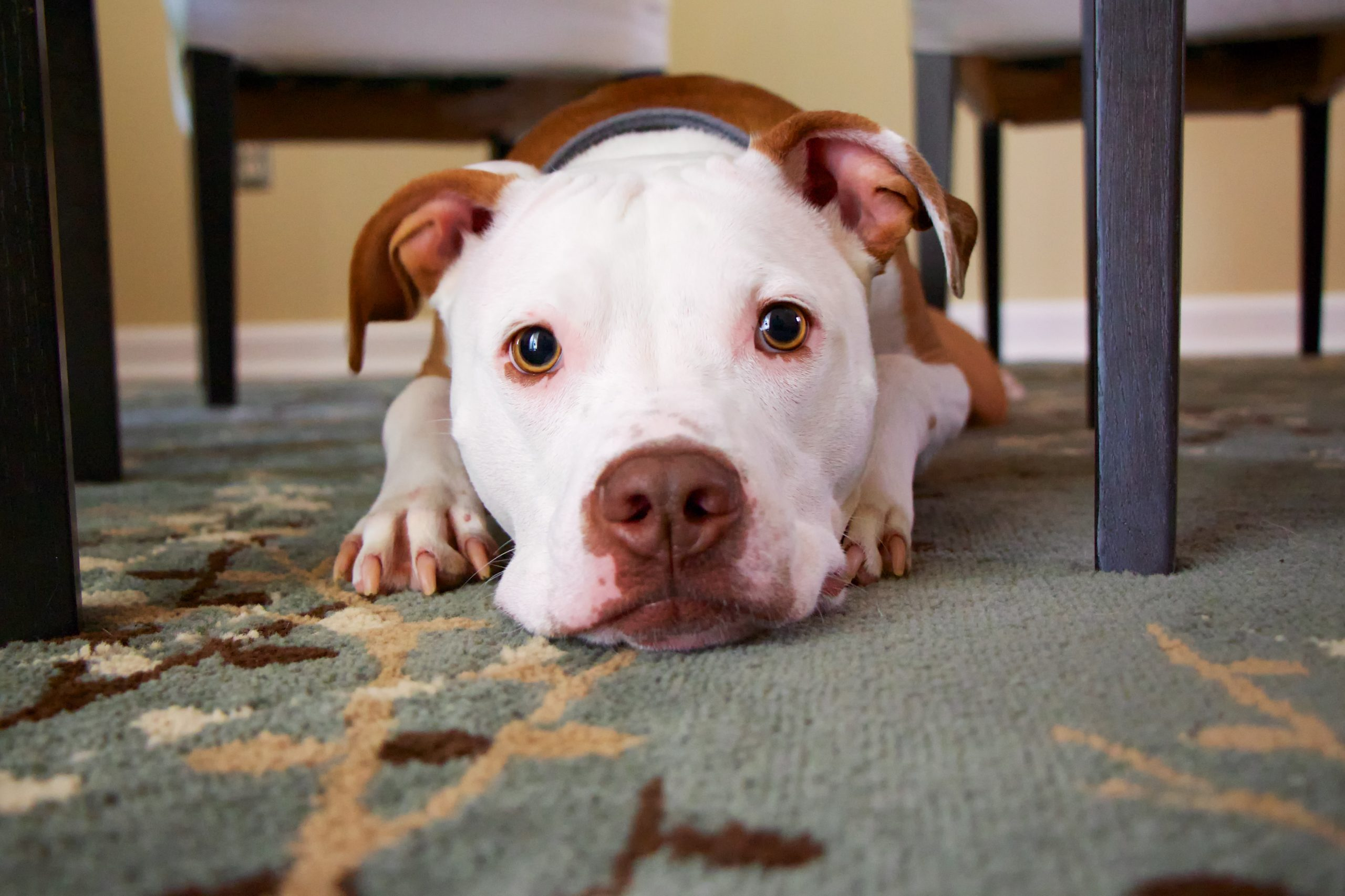 Scared dog lying on rug