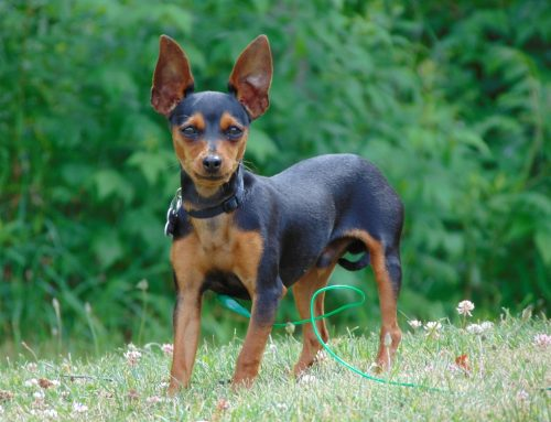 Breeds we Walk – Miniature Pinscher