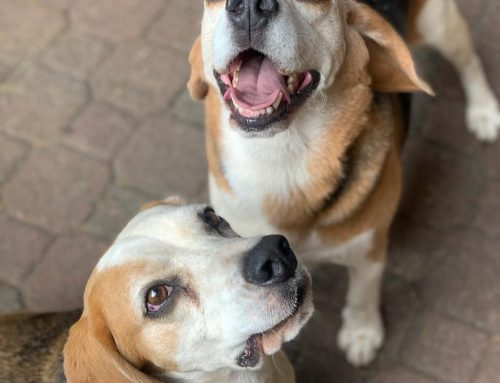 Breeds we Walk – Beagles