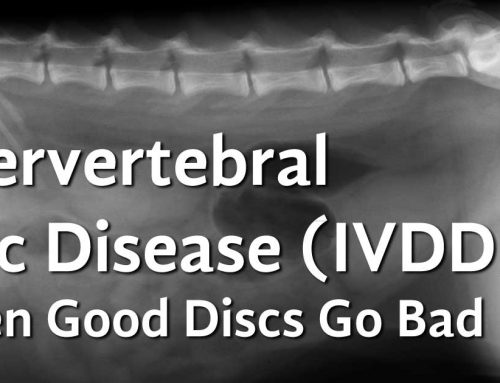 Intervertebral Disc Disease (IVDD) in Dogs – Slipped Disc