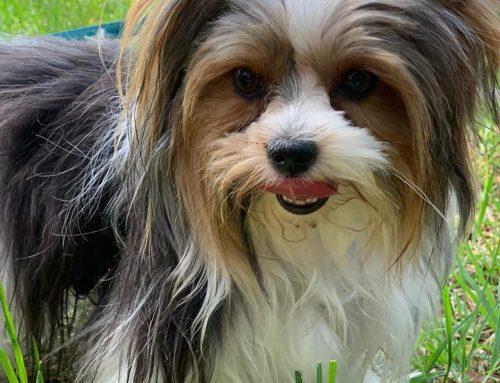 Exotic Breeds – Biewer Terrier