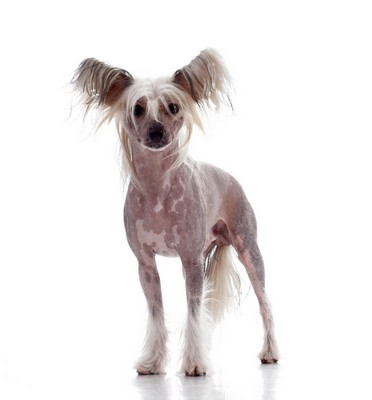 Exotic Breeds – Chinese Crested